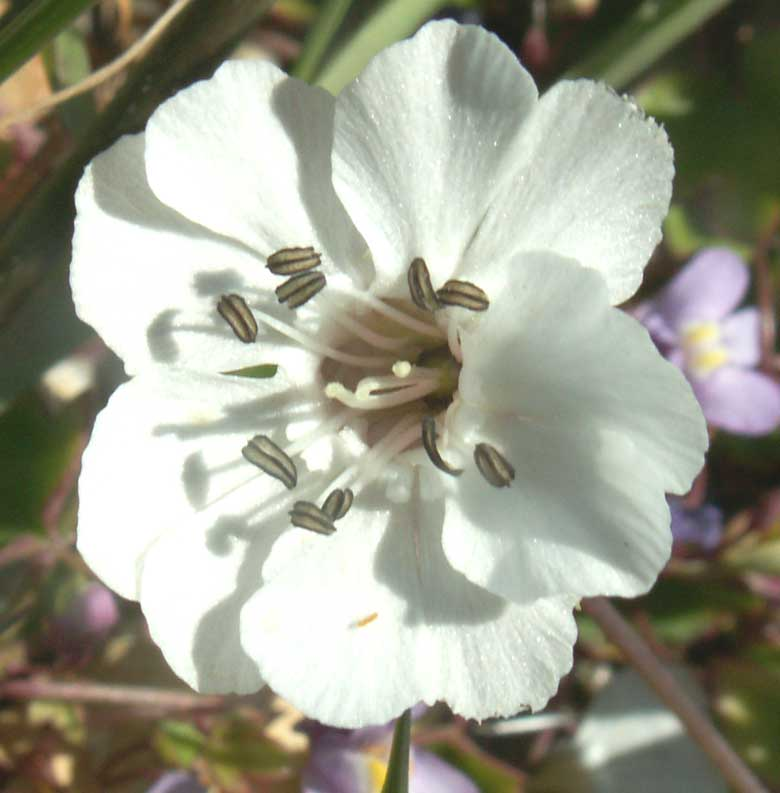 Sea Campion with anthers