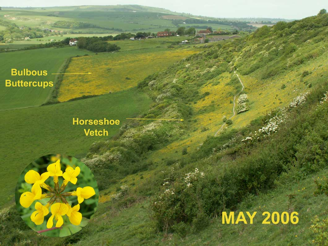 Shoreham Bank with Horseshoe Vetch (not yet as extensive as 2005)