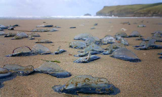 Velella on a Cornish beach in September 2004 (Photograph by Jonathan Smith)