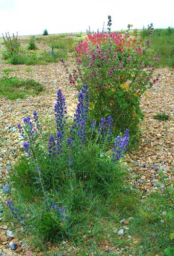 Viper's Bugloss (blue) with Tree Mallow (Photograph by Andy Horton)