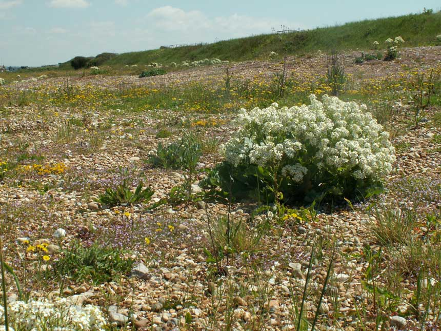 Sea Kale in flower on the Widewater Flood Plain