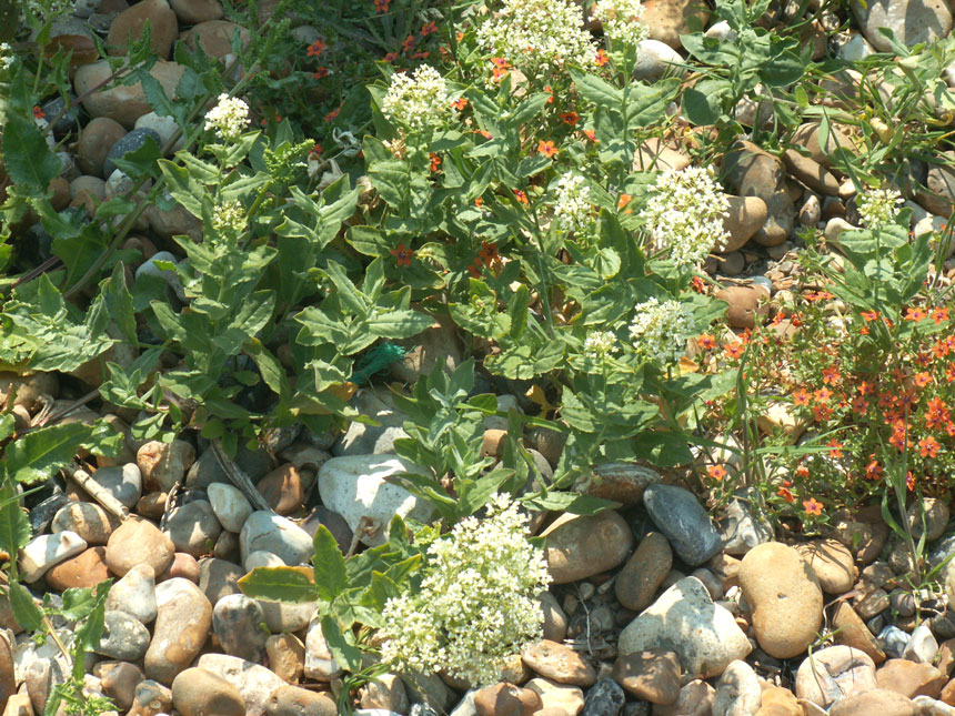 Hoary Cress and Scarlet Pimpernel
