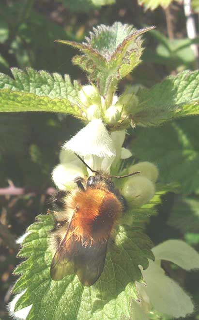 The orange furry Carder Bumblebees favoured the white flowers of the White Dead Nettle
