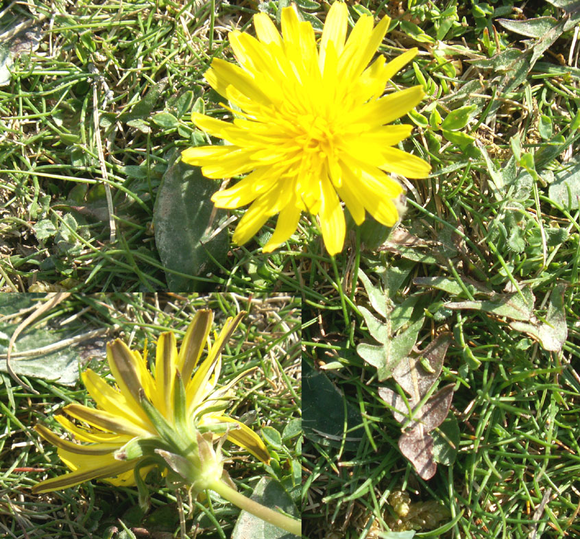 A closer look at the yellow dandelion family plants the leaves and bracts on this flower from mill hill look dandelion like these leaves are mostly hidden under other herbs mightylinksfo